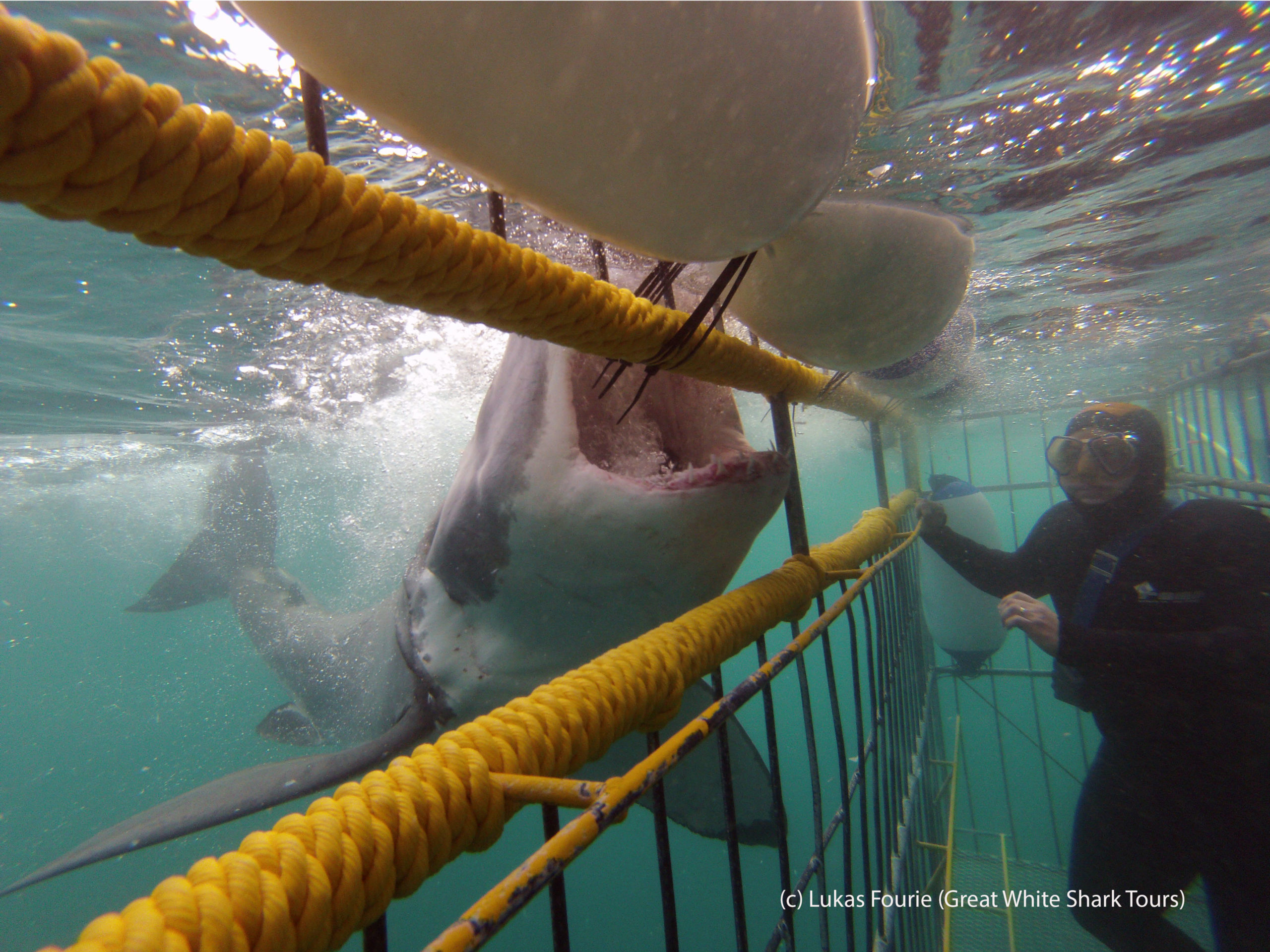 Shark diving with the Great White Sharks