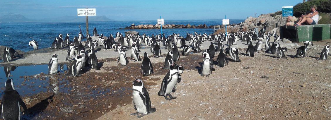 Stoney Point penguin colony in Betty's Bay