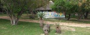 Warthops grazing at Timbavati Private Safari camp
