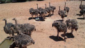 Ostrich Farm in Oudtshoorn up the Garden Route