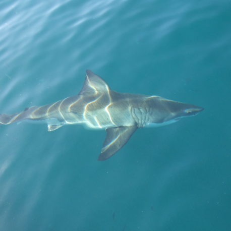YOUNG GREAT WHITE
