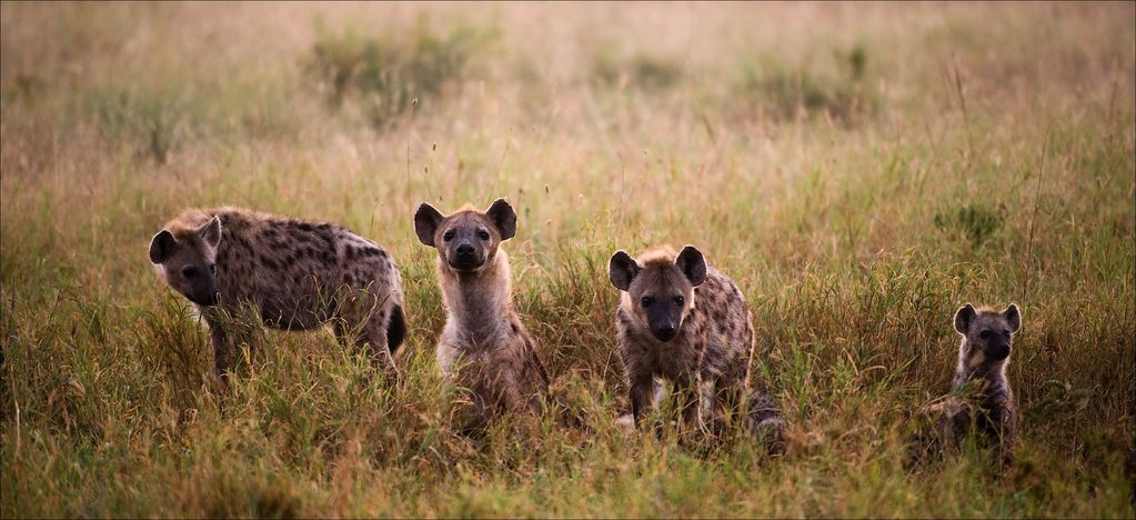 Family of hyenas early in the morning in the grass.